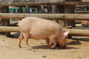 ドイツの豚肉を巡り、日中韓が珍しく「一致団結」=中国メディア