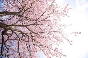 これまで興味がなかった中国人が、近年にわかに桜の花を愛し始めた理由=中国メディア