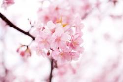 中国人観光客が愛してやまない日本の桜、今年は1300億円を稼ぎ出すかもしれない=中国メディア