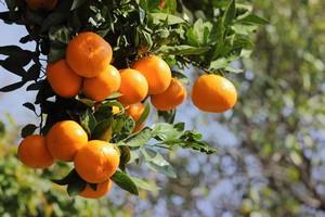 中国で近ごろよく売れている柑橘類、みんな日本の愛媛で生まれたものだった!=中国メディア