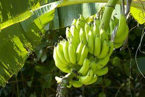 熱帯フルーツのバナナ、日本人が北海道での栽培に成功した!=中国メディア