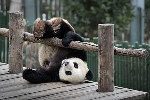 糞まで展示するなんて! 日本人はどれだけパンダが好きなんだ!=中国メディア