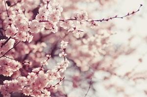 この2つのモノを見れば、日本人がいかに桜を愛しているかが分かる!=中国メディア