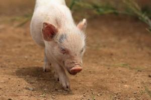 日中韓が同じ対応を見せているぞ! ドイツで発生したアフリカ豚熱に=中国報道