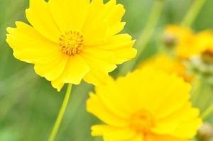 こんなに美しいのに・・・街でよく見かける黄色い花、日本では栽培が禁止されている! それはなぜ?=中国