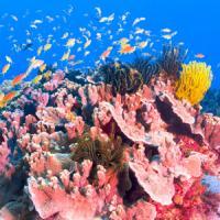 赤珊瑚が絶滅の危機? 日本人と中国人のどちらが原因か=中国