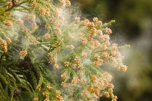 日本の花粉症はどれだけ辛い? なんと失恋より辛いらしい=中国メディア