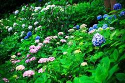 日本には、梅雨の鬱々とした気分を晴らしてくれる美しい花がある! =中国メディア