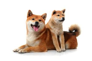 柴犬に魅了される中国人、よく似た中国犬を「柴犬」と偽る中国らしい詐欺も