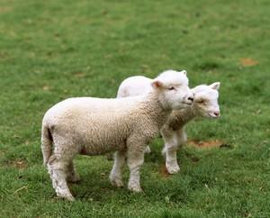 日本人はなぜ羊肉を食べないの? 「羊を見たことのない日本人もいるらしい」=中国
