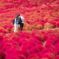 日本の紅葉は美しい! 一面がワインレッドに染まる、コキアの美しい景色にうっとり=中国メディア