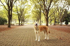 日本の「国犬」とも称される秋田犬 どうしてこんなにファンが多いの?=中国メディア