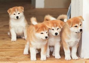世界的に人気が高い日本の「秋田犬」、その魅力はどこにあるの?=中国メディア