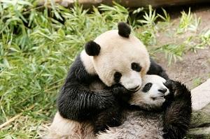 日本人は中国人以上に「パンダ好き」、もはや「病的なほど」に=中国メディア