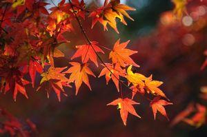 驚き・・・日本では、モミジの葉を天ぷらにして食べる=中国メディア