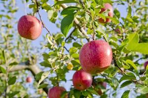 りんご生産量は中国が世界一だが、「世界一の産地」は日本にある=中国