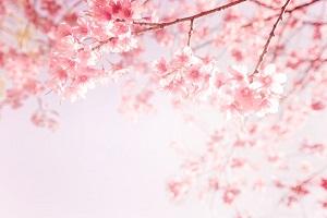 「日本の桜」は特別な体験、「開花が始まれば日本のどこかで桜が咲いている」=中国メディア