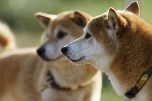中国原産の犬だっているのに! なぜ「柴犬」が人気なのか=中国メディア