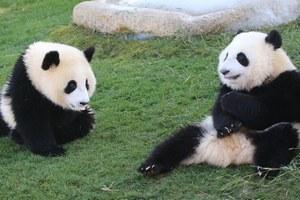 中国が最も多くのパンダを貸し出している国は・・・日本だ!=中国メディア