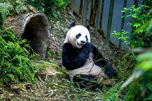 さすが日本人! パンダの誕生日の祝い方が突き抜けている=中国メディア