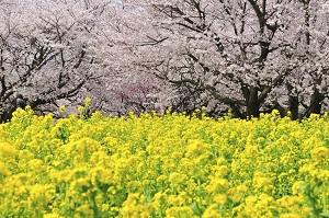 日本の桜の名所を見て分かった「中国人が日本で花見がしたいと考える理由」=中国