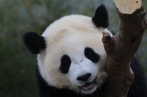 日本でのパンダ人気は異常・・・「日本人は中国の宝を愛している」=中国メディア