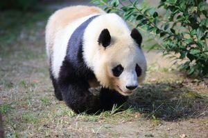 パンダ好きの日本人・・・日本で過ごしたタンタンは幸せだったに違いない=中国