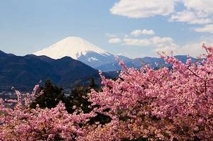 日本はもう桜のシーズン、早咲きの河津桜が得も言われぬ美しさに!=中国メディア
