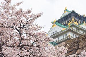 日本の桜を愛でる習慣は、中国文化の束縛から脱する「自我」の目覚めだった