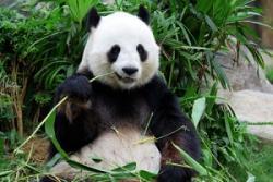 日本で大人気のパンダ、その「稼ぎっぷり」は凄まじい「さすがわが国の国宝」=中国メディア