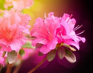 日本の皇室から伝わった樹齢三百年の名花も・・・「つつじ」の名所が花の季節へ=中国メディア